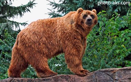 خرس کودیاک kodiak bear