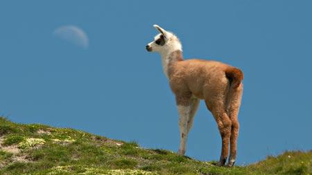 عکس بچه شتر لاما در کوهستان lama animal mountain