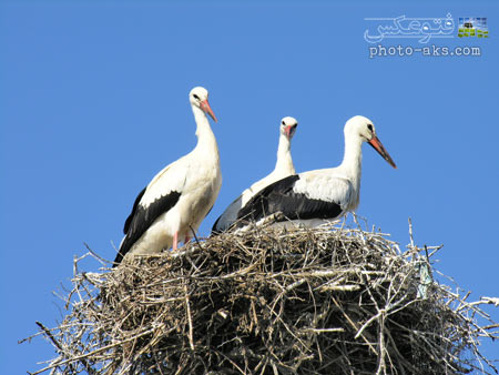 آشیانه لک لک ها stork nest