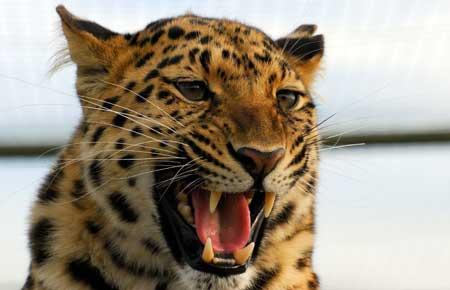 عکس نعره پلنگ گربه وحشی leopard predator big cat