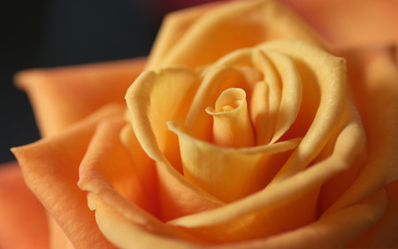 عکس زیبا از گلبرگ های گل رز نارنجی light orange rose flower
