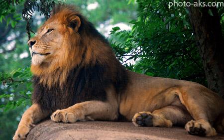 عکس شیر سلطان باغ وحش lion king of zoo