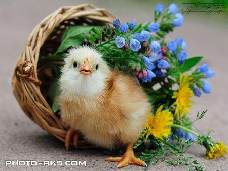 عکس بامزه جوجه کوچولو little chicken
