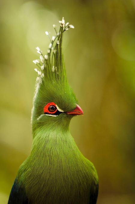 پرنده موزخوار لیوینگستون livingstone turaco bird