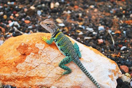 عکس مارمولک جکو روی سنگ lizard gecko stones