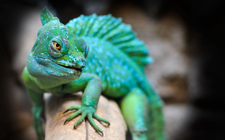عکس با کیفیت آفتاب پرست سبز lizard reptile green