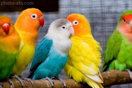 زیباترین پرندگان خانگی love birds beautiful