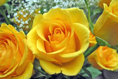 عکس گلبرگهای گل رز زرد lovely yellow rose