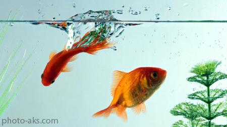 والپیپر ماهی قرمز در آکواریوم mahi germez