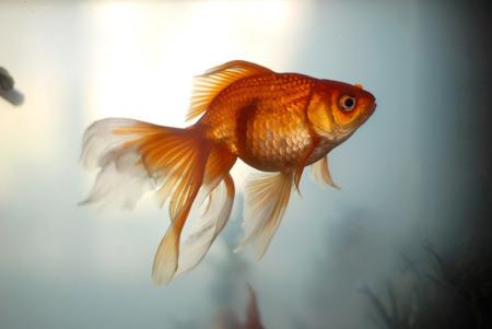 عکس ماهی قرمز عید خوشگل mahi germez eid