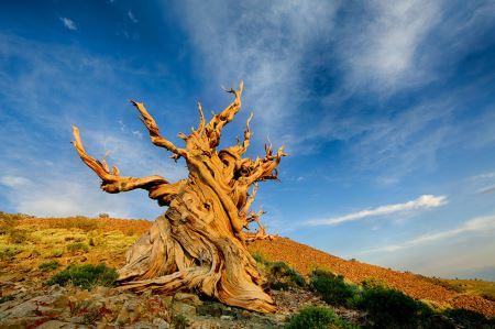 قدیمی ترین درخت دنیا methuselah tree