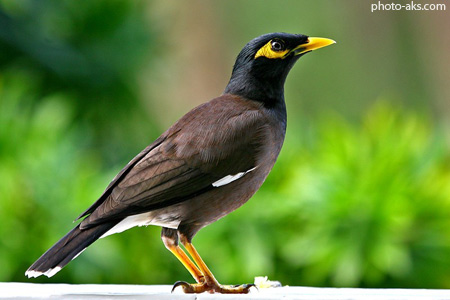 مرغ مینای سخنگو mynah bird