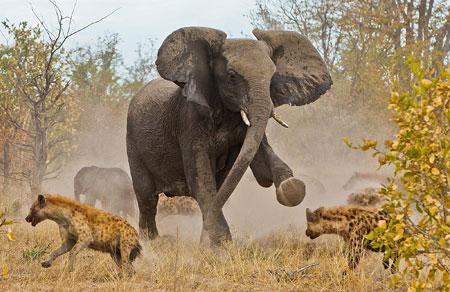 عکس درگیری فیل با کفتارها nabard fil ba kaftar