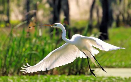 عکس پرواز پرنده حواصیل سفید nature flying herons bird