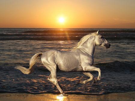اسب سفید در غروب ساحل horse rides sea