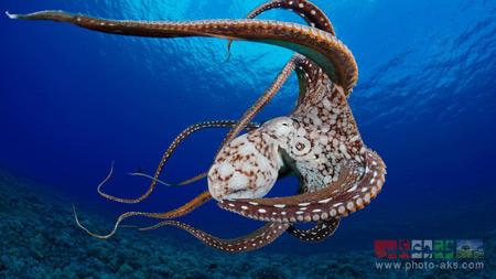 بزرگترین اختاپوس جهان bigest octopus