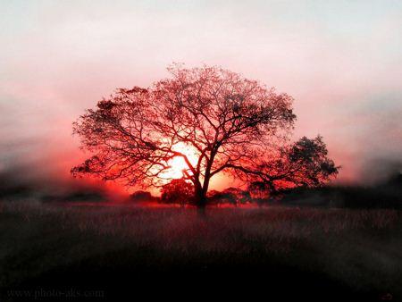 عکس تک درخت در غروب only tree