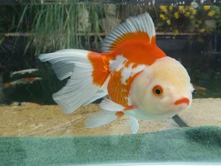 ماهی گلدفیش اوراندا Oranda Goldfish
