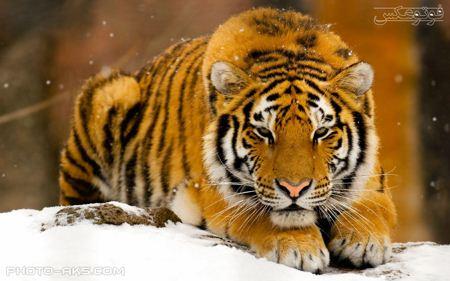 پوستر ببر با پوست نارنجی poster orange tiger