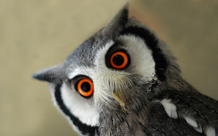 عکس نگاه جالب پرنده جغد owl birds look wallpaper