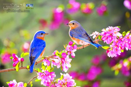پرندگان آواز خوان در بهار spring wallpaper