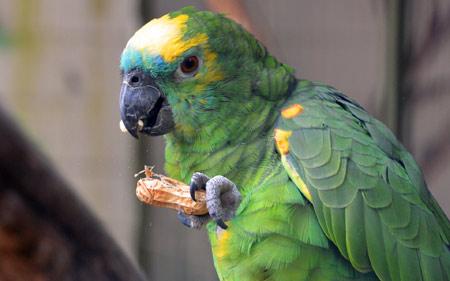عکس طوطی و بادام زمینی parrot bird food