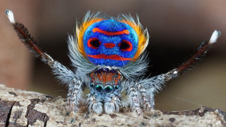 عنکبوت طاووسی یا پیکاک peacock spider