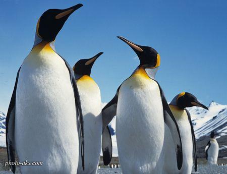 عکس پنگوئن ها penguins photo galery