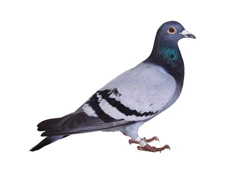 عکس کبوتر با زمینه سفید pigeon white background