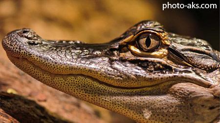بچه تمساح alligator baby