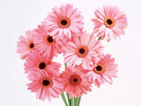 شاخه گل های صورتی ژربرا pink gerbera flower