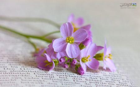 گل چهار برگ بنفش روشن light pink flower