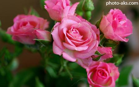 خوشگلترین گل های رز صورتی pink rose flower wallpaper