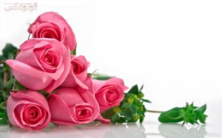 شاخه گل های رز صورتی pink roze flower