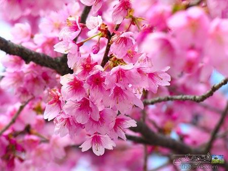 شکوفه های صورتی بهاری pink spring blooms