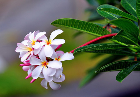 عکس گل زیبای پلومریا plumeria flowers