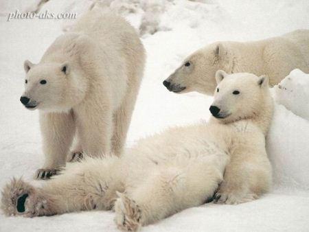 خرس های قطبی بامزه sweet polar bear