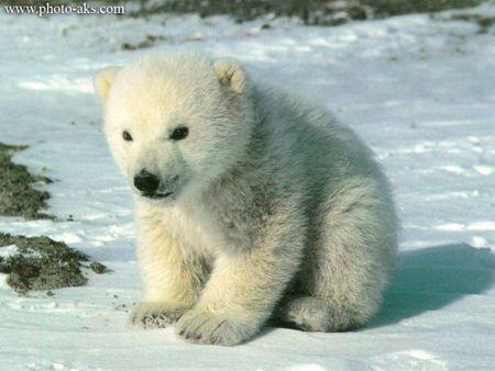 بچه خرس قطبی ناز polar bear baby