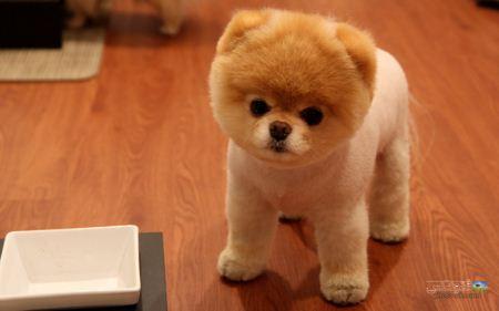 عکس توله سگ شبیه عروسک dog pomeranian image