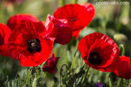 گل شقایق poppy flowers pictures