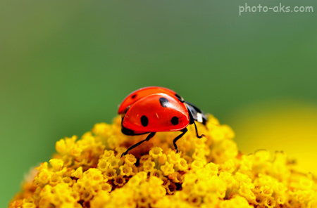 عکس کفش دوزک بامزه ladybug wallpaper
