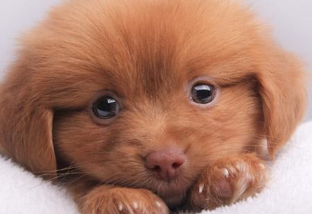 عکس سگ پاپی حنایی ناز puppies dog
