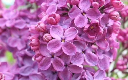 عکس زیبای گل یاس بنفش purple lilac flower