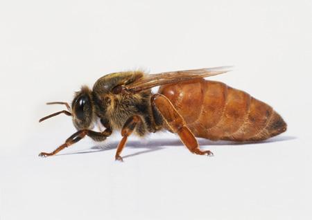 عکس ملکه زنبور عسل gueen bee picture
