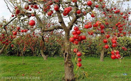 عکس درخت سیب پر از میوه red apple tree picture