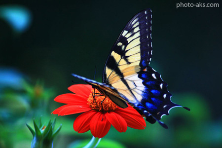 عکس پروانه روی گل red flower butterfly