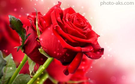 گل رز مخملی بسیار زیبا red roze wallpaper