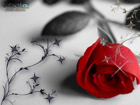 پس زمینه گل رز قرمز red roze wallpaper