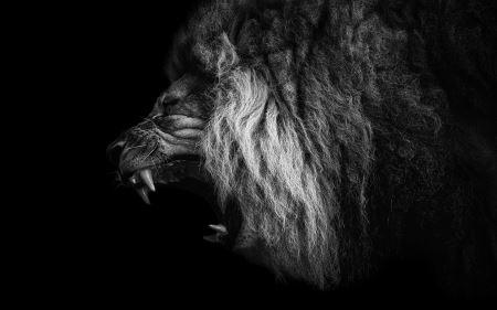 عکس غرش شیر نر roaring lion