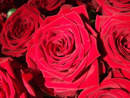 دانلود عکس گلهای رز قرمز rose bud red petals